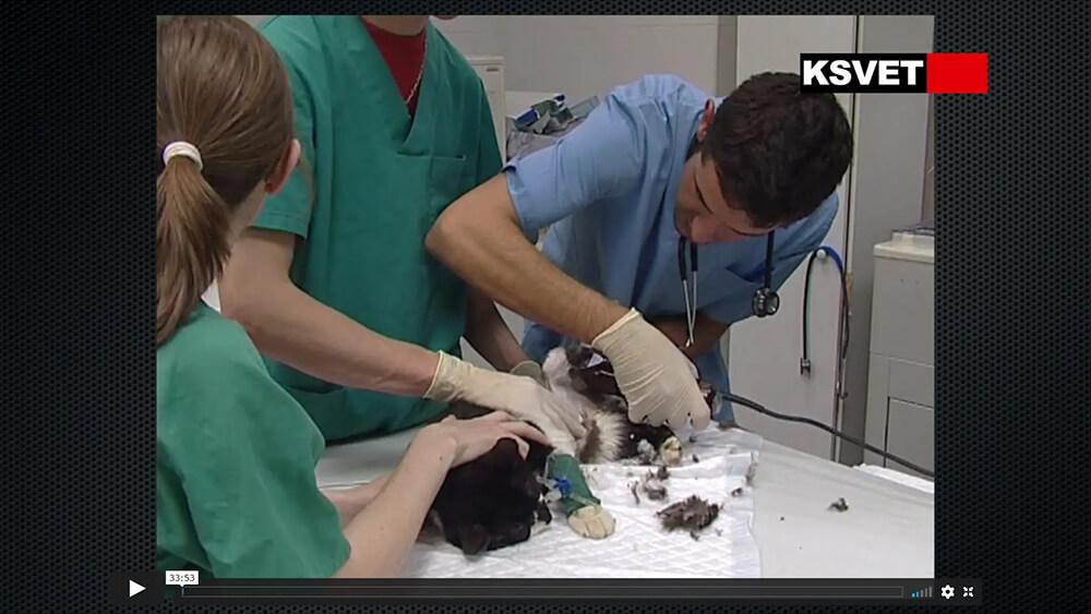 Amputación de extremidad posterior técnica quirúrgica y control del dolor
