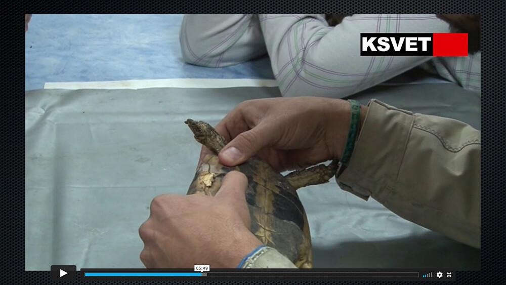 Reparación caparazón tortuga y desparasitación